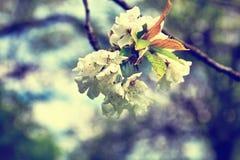 Las flores de la manzana florecen en un día de primavera Imagen de archivo