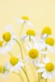Las flores de la manzanilla se cierran para arriba Imágenes de archivo libres de regalías