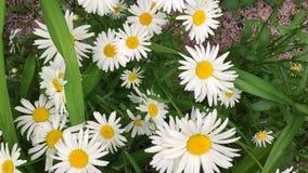 Las flores de la manzanilla se cierran para arriba Naturaleza del verano, campos de flor, prado de la flor salvaje, botánica y bi almacen de metraje de vídeo