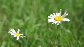 Las flores de la margarita blanca cuelgan en viento el campo del verano Phytotherapy Las margaritas hermosas florecen en verano e
