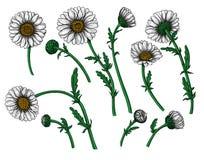 Las flores de la margarita dise?an el sistema de elementos ilustración del vector