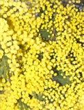 Las flores de la mimosa Imagenes de archivo