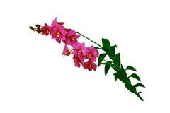 Las flores de la orquídea del rosa Fotografía de archivo libre de regalías