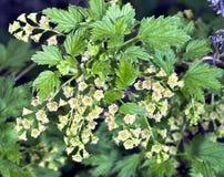 Las flores de la pasa roja Foto de archivo