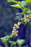 Las flores de la pasa roja Foto de archivo libre de regalías
