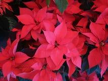 Las flores de la poinsetia imagen de archivo libre de regalías