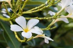 Las flores de la puesta del sol y del frangipani Imágenes de archivo libres de regalías