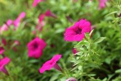 Las flores de las petunias Fotografía de archivo