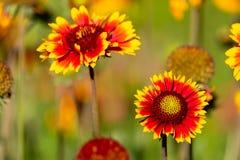 Las flores de los dos años del gaylardiya de los colores de crecimiento al aire libre para la decoración del territorio, paisaje  fotos de archivo