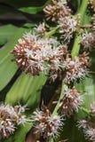 Las flores de los fragrans del Dracaena son flor Imagenes de archivo