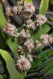 Las flores de los fragrans del Dracaena son flor Foto de archivo libre de regalías
