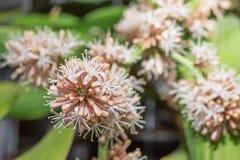 Las flores de los fragrans del Dracaena son flor Imágenes de archivo libres de regalías