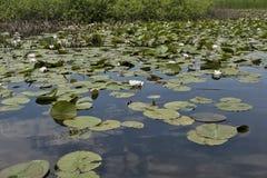 Las flores de los lirios de agua Fotos de archivo libres de regalías