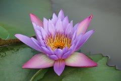 las flores de loto Púrpura-rosadas están floreciendo en la piscina La parte posterior tiene una hoja verde hermosa del loto fotografía de archivo libre de regalías