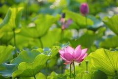 Las flores de loto rosadas preciosas que florecen entre borrachín se van en una charca bajo sol brillante del verano Foto de archivo libre de regalías