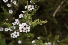 Las flores de Manuka se cierran para arriba fotos de archivo
