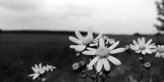 Las flores de Monohrom empañan el negro blanco foto de archivo