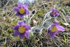 Las flores de pasque temprano por mañana. fotografía de archivo libre de regalías