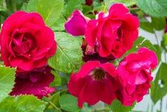 Las flores de rosas rojas con agua caen en los pétalos y las hojas en el jardín después de la lluvia Fotografía de archivo libre de regalías