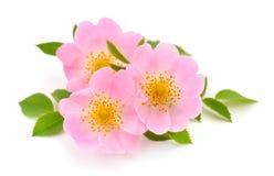 Las flores de salvaje subieron Fotos de archivo
