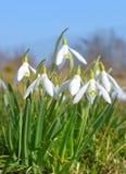 Las flores de Snowdrop se cierran para arriba fotografía de archivo