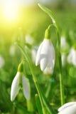 Las flores de Snowdrop se cierran para arriba imagenes de archivo