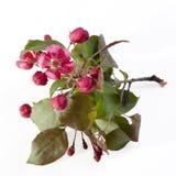 Las flores de un Apple-árbol del niedzwetzkyana Dieck del Malus de Nedzvetsky aislado en el fondo blanco Imágenes de archivo libres de regalías