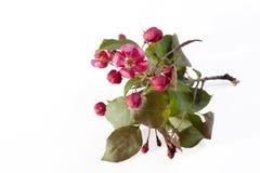 Las flores de un Apple-árbol del niedzwetzkyana Dieck del Malus de Nedzvetsky aislado en el fondo blanco Fotos de archivo