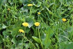 Las flores de un diente de león Foto de archivo libre de regalías