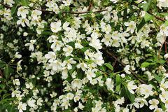 Las flores de un manzano Imagen de archivo libre de regalías