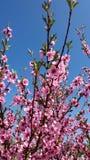 Las flores del árbol de melocotón florecen en fondo del cielo azul fotografía de archivo