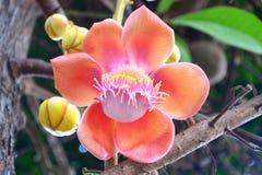 Las flores del árbol del obús Imágenes de archivo libres de regalías