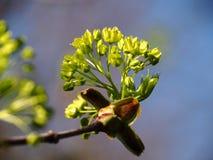 Las flores del arce florecen en primavera fotos de archivo libres de regalías