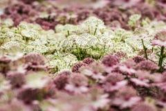 Las flores del Astrantia, palidecen - el color rosado y blanco, cierre para arriba Imagen de archivo libre de regalías