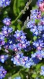 Las flores del azul Foto de archivo