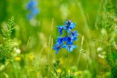 Las flores del azul en el prado Imagenes de archivo