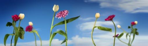 Las flores del baile, los tulipanes blancos y el gerbera rosado bailan juntos encendido Imágenes de archivo libres de regalías