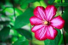 Las flores del clematis Foto de archivo