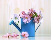 Las flores del color rosado blanco africano del Saintpaulia en el ramo azul de la regadera Imagenes de archivo