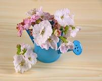 Las flores del color rosado blanco africano del Saintpaulia en el ramo azul de la regadera Imagen de archivo