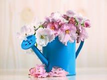 Las flores del color rosado blanco africano del Saintpaulia en el ramo azul de la regadera Imágenes de archivo libres de regalías