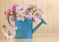Las flores del color rosado blanco africano del Saintpaulia en el ramo azul de la regadera Foto de archivo libre de regalías