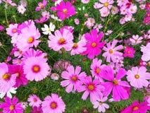 Las flores del cosmos est?n floreciendo en el fondo del jard?n, cosecha que planta en Tailandia imagen de archivo