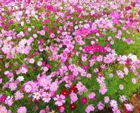 Las flores del cosmos est?n floreciendo en el fondo del jard?n, cosecha que planta en Tailandia fotografía de archivo