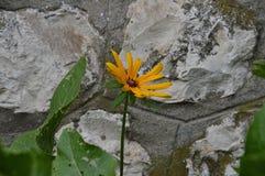 Las flores del ejemplo del hirta del rudbeckia son un bosquejo del color Imágenes de archivo libres de regalías
