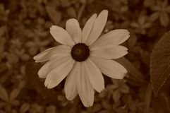 Las flores del ejemplo del hirta del rudbeckia son una sepia imagen de archivo libre de regalías