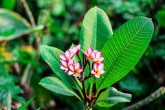 Las flores del Frangipani se cierran encima de Plumeria hermoso imagen de archivo