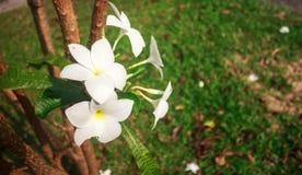 Las flores del Frangipani se marchitan. Imágenes de archivo libres de regalías