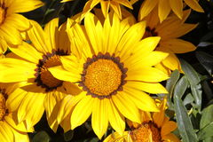 las flores del garzania adornan el jardín Foto de archivo libre de regalías