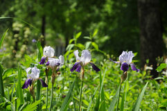 Las flores del iris fotos de archivo